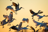 A Flock of White Ibises  Eudocimus Albus  Taking Flight
