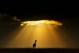 Maasai Giraffe (Giraffa Camelopardalis Tippelskirchi) Silhouetted by Setting Sun  Kenya