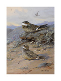 A Painting of Nighthawks: Chordeiles Minor and Chordeiles Acutipennis