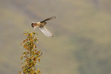 A Kestrel Taking Flight from the Top of a Tree