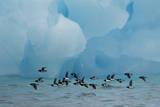Little Auks (Alle Alle) Flying Low Above Surface in Front of Iceberg