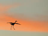 Sandhill Crane (Grus Canadensis) Landing at Sunset North America