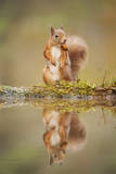 Red Squirrel (Sciurus Vulgaris) at Woodland Pool  Feeding on Nut  Scotland  UK