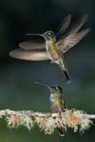 Green Crowned Brilliant Hummingbird (Heliodoxa Jacula) Taking Off to Feed in Garden  Costa Rica
