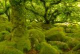 Stunted Oak Woodland Covered in Moss  Wistman's Wood  Devon  UK
