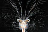 Deepsea Marine Larva of Decapod Crustacean {Sergestes Sp} Atlantic Ocean