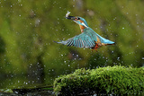 Common Kingfisher {Alcedo Atthis} Coming Up Out of Water with Fish  Lorraine  France