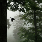 Sillhouette of Black Woodpecker {Dryocopus Martius} Flying from Nest  Vosges Mountains  Lorraine