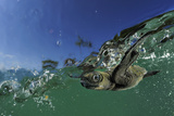 Baby Olive Ridley Sea Turtle (Lepidochelys Olivacea) Swims from Where it Hatched  Costa Rica