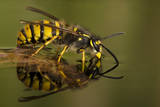 Common Wasp (Vespula Vulgaris) Drinking at Water's Surface from Floating Leaf