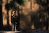 Rear View of Male Bengal Tiger Walking {Panthera Tigris Tigris} Kanha Np  India
