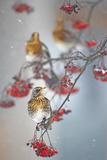 Fieldfare (Turdus Pilaris) on Fruit Tree in Snow Helsinki  Finland