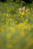 Red Fox (Vulpes Vulpes) in Meadow of Buttercups Derbyshire  UK