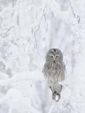 Ural Owl (Stix Uralensis) Resting in Snowy Tree  Kuusamo  Finland