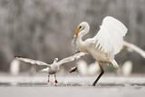 Great Egret (Ardea Alba) Drops a Fish and a Black Headed Gull (Larus Ridibundus) Flies to Catch It