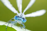 Common Blue Damselfly (Enallagma Cyathigerum)  Close Up Portrait
