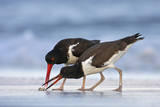 Young American Oystercatcher (Haematopus Palliatus) Snatching Food from Adult on the Shoreline