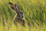European Hare (Lepus Europaeus) in Grass Field  UK