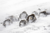 Musk Ox (Ovibos Moschatus) Snowed in In Snow Storm  Dovre-Sunndalsfjella National Park  Norway