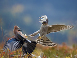 Sparrowhawk (Accipiter Nisus) Attacking Jay (Garrulus Glandarius) Telemark  Norway