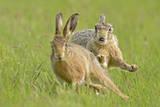 European Hares (Lepus Europaeus) Courtship Chase  UK