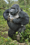 Mountain Gorilla (Gorilla Beringei) Silverback Beating Chest and Charging Forward  Rwanda