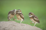 Two Newly Fledged Burrowing Owl Chicks (Athene Cunicularia)  Pantanal  Brazil