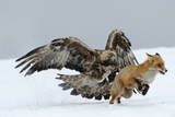 Golden Eagle (Aquila Chrysaetos) Adult Defending Carcass from Red Fox (Vulpes Vulpes)  Bulgaria
