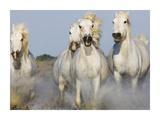 Camargue Horses Running