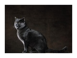 Seated Blue-Gray Chartreux Cat (detail)