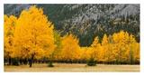 Autumn Aspens in Meadow