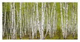 White Birch Grove with Spring Foliage  Canada