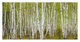 White Birch Grove with Spring Foliage  Canada