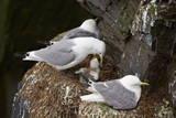 Black-Legged Kittiwake (Rissa Tridactyla) Adult Feeding a Chick on the Nest  Iceland  Polar Regions