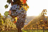 Vineyards with Red Wine Grapes in Autumn at Sunset  Esslingen  Baden Wurttemberg  Germany  Europe