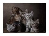 European Shorthair Kittens