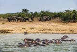 Hippopotamus (Hippopotamus Amphibious) Group Bathing with a Group of Elephants Standing in the Back