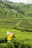 Worker Picking Tea on a Tea Plantation in the Virunga Mountains  Rwanda  Africa