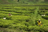 Workers Picking Tea on a Tea Plantation in the Virunga Mountains  Rwanda  Africa