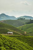 Tea Plantation in the Mountains of Southern Uganda  East Africa  Africa