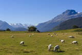 Sheep Grazing on a Green Field