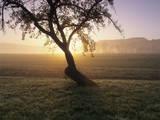 Tree in a Field at Sunrise in Autumn  Swabian Alb  Baden Wurttemberg  Germany  Europe