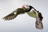 Puffin (Fratercula Arctica) in Flight During High Winds with Ruffled Feathers
