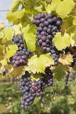Red Wine Grapes in Autumn  Uhlbach  Stuttgart  Baden Wurttemberg  Germany  Europe