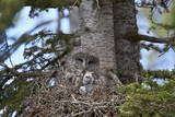 Great Gray Owl (Great Grey Owl) (Strix Nebulosa) Female and 11-Day-Old Chicks