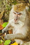 Crab-Eating (Long-Tailed) Macaque Monkey