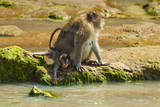 Crab-Eating (Long-Tailed) Macaque Monkey with Baby by a River  National Park at Pangandaran