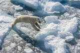 Adult Polar Bear (Ursus Maritimus) on Ice Floe