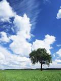 Single Tree in a Field  Swabian Alb  Baden Wurttemberg  Germany  Europe