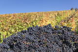 Red Wine Grapes with Colourful Vineyards in Autumn